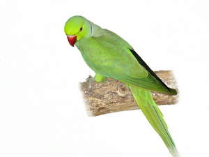 A beautiful Rose Ringed Parakeet perched on a branch