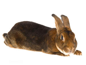 A Castor Rex rabbit with a beautiful long body