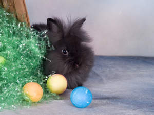 A beautiful little Lionhead rabbit with big fluffy black fur