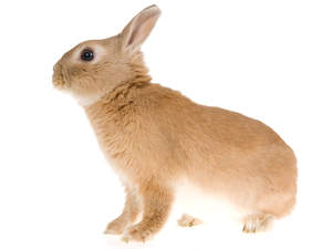 A Netherland Dwarf rabbit with incredible soft brown and white fur