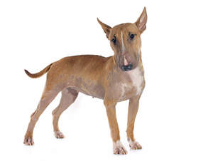 A female, adult Bull Terrier standing strong