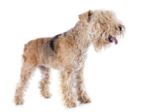 A lovely, young Lakeland Terrier panting, waiting to play with its owner
