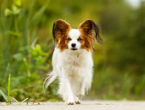 A smart handsome Papillon with tufty ears