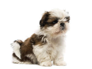 A lovely little Shih Tzu puppy sitting neatly on the floor