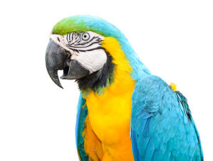 A Blue and Yellow Macaw's wonderful, white and black face