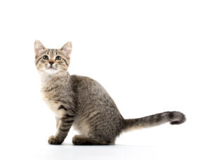 A little american shorthair kitten with a nice tabby coat