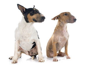 Two adult Bull Terriers sitting, content in each others company