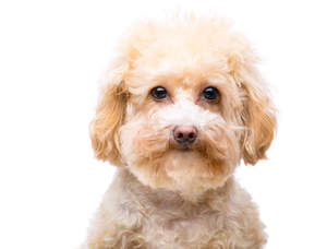 A close up of a young Miniature Poodle's head, with a soft, thick coat