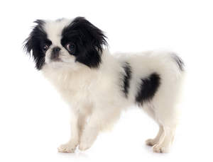 A beautiful little black and white Japanese Chin puppy