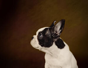 A side on of a Boston Terrier's stubby nose and tall ears