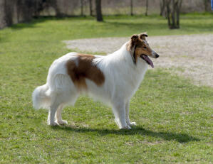 A Collie's beautiful long, soft, white coat