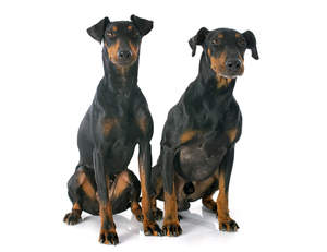 Two healthy adult Manchester Terriers sitting together, waiting for a command