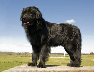 A beautiful, young Newfoundland with a thick, black coat and massive paws