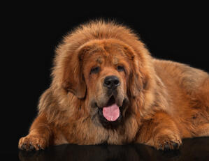 A close up of a Tibetan Mastiff's wonderful, thick coat and giant paws