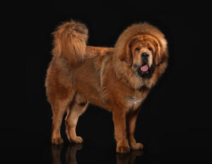 A healthy, adult Tibetan Mastiff showing off it's incredible, bushy tail