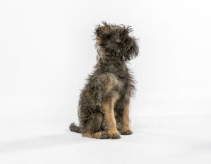 A beautiful little affenpinscher with a wirey coat