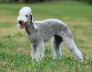 A wonderful Bedlington Terrier, standing tall, showing of it's well groomed coat