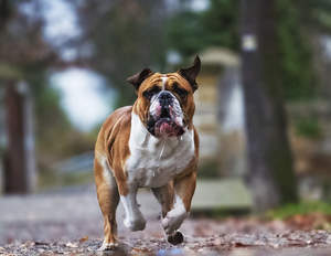 A healthy adult English Bulldog jogging towards it's owner