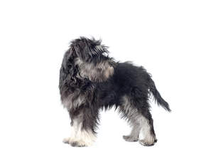 A young adult Miniature Schnauzer standing tall, showing off its soft grey and white coat