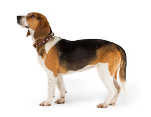 A side on of a healthy adult Beagle