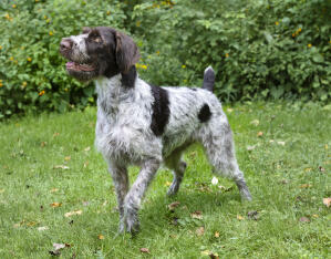 A beautiful German Wirehaired Pointer, waiting patiently for a command