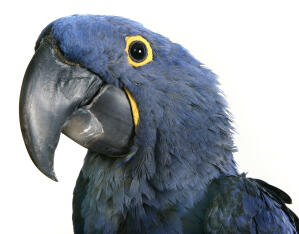 A close up of a Hyacinth Macaw's beautiful yellow feathers around its eyes