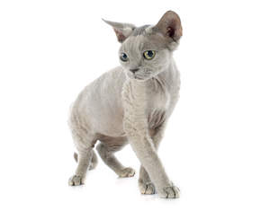 A lilac devon rex with yellowy green eyes