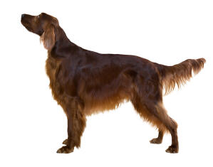A healthy, young adult Irish Setter standing tall