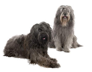 Two lovely Catalan Sheepdog waiting for some attention