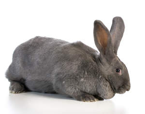 A Flemish Giant rabbit with beautiful charcoal fur