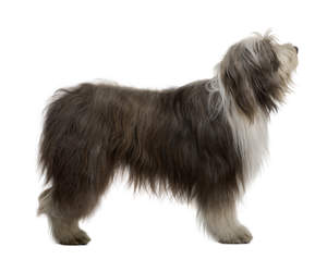 A side on of an adult Bearded Collie with a lovely thick coat