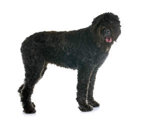 A handsome Bouvier Des Flandres standing up