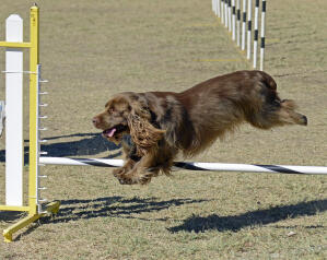 A chocolate Sussex Spaniel succeeding at agility