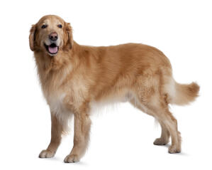 A healthy adult golden Hovawart with a beautiful thick coat