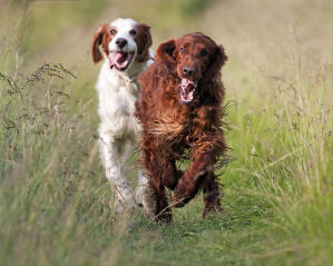 Two healthy, young Irish Setters enjoying some exercise together
