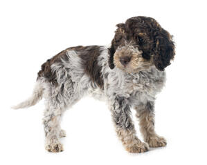 An incredible little Portuguese Water Dog puppy waiting to play