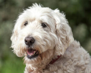 A close up of a Soft Coated Wheaten Terrier's lovely, thick, white coat