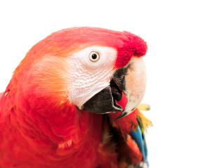 A close up of a Red and Blue Macaw's wonderful white beak