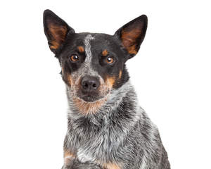 A smart australian cattle dog with lovely brown eyes