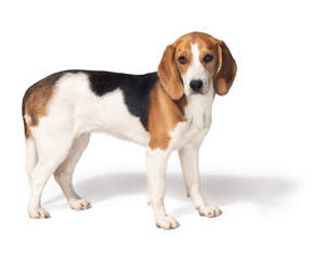 A healthy, young Beagle standing tall