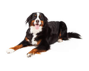 An excited adult Bernese Mountain Dog with a healthy coat