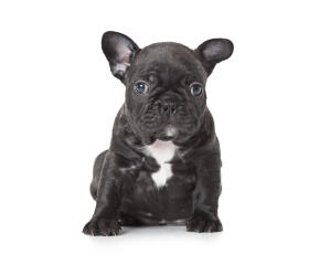 A young French Bulldog puppy with a lovely black and white coat
