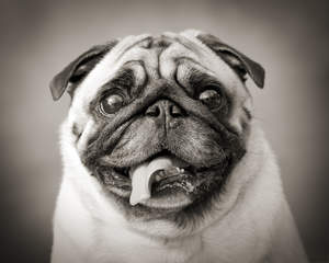 A close up of a Pug's lovely, squashed face