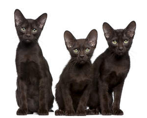 three havana brown kittens sitting neatly in a line