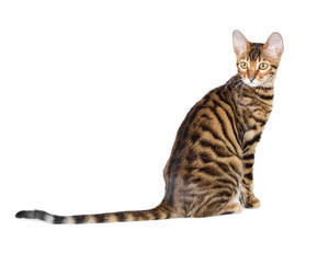A young Toyger with its tiger like coat