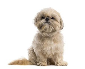 An inquisitive little Shih Tzu awaiting a command