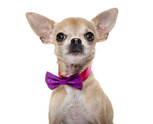A cheeky chihuahua looking alert in a splendid bow tie