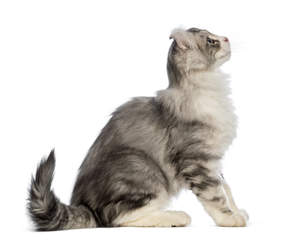 An American Curl Cat with a fantastic coat