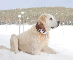 A wonderful adult Turkish Kangal Dog lying down in the snow