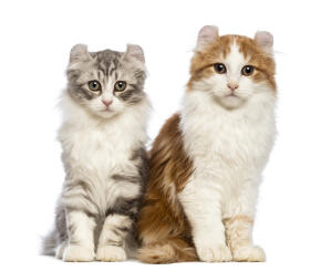 Two young american curl cats looking very cute